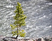 Tree at River Yellowstone National Park